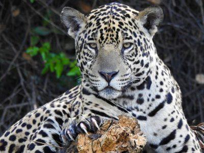Panthera-onca